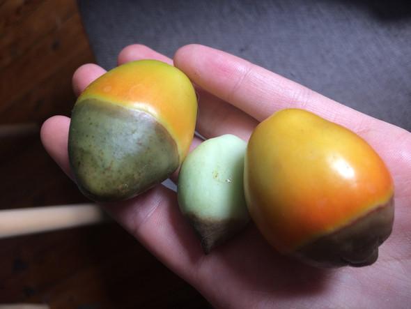 - (Garten, TOMATENPFLANZEN, Balkon Tomaten )