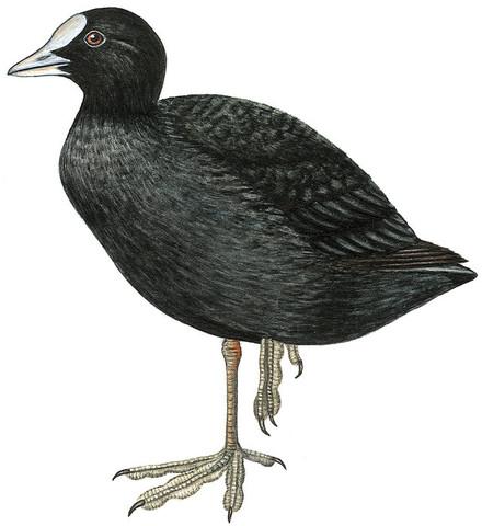 - (Vögel, Ornithologie)