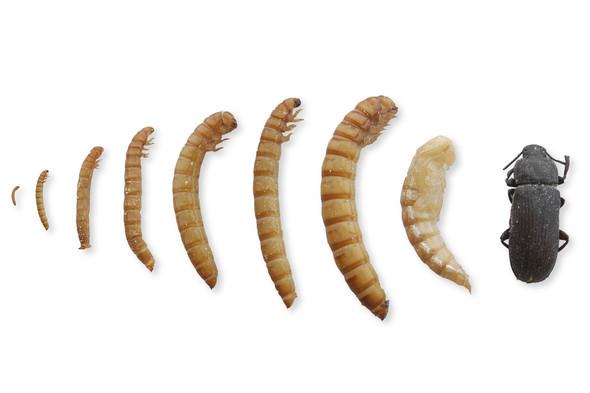 - (Tiere, Käfer, züchten)