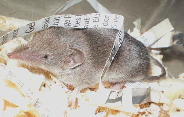 - (Tiere, Biologie, Maus)