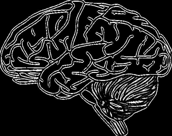 Organ: Gehirn - (Bio, Bausteine von bio)