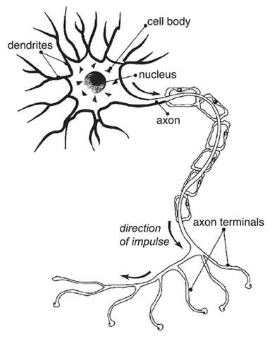 Zelle: Gehirnzelle - (Bio, Bausteine von bio)