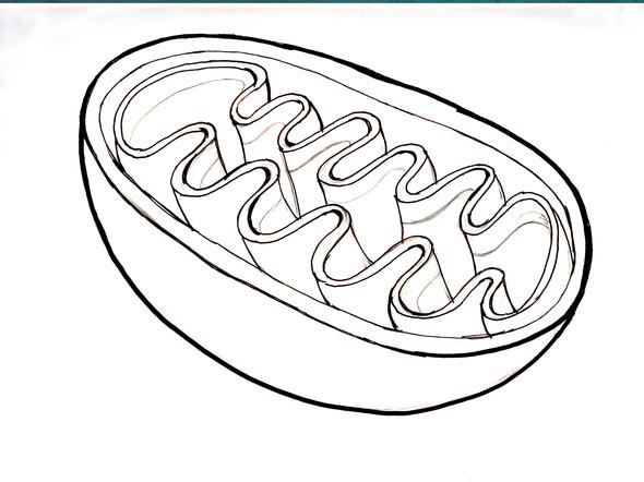 Organelle: Mitochondrium - (Bio, Bausteine von bio)