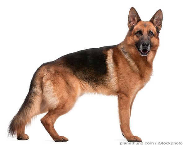 - (deutsch, Tiere, Hund)