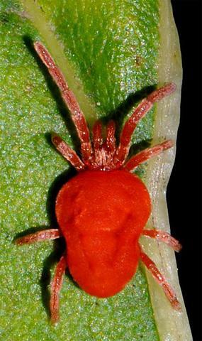 rote spinne - (Tiere, Pflanzen, braune Lilienknospen)
