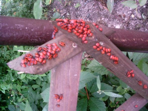 Feuerwanze Zaun 1 - (Natur, Kaefer)