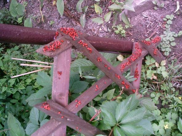 Feuerwanzen Zaun - (Natur, Kaefer)