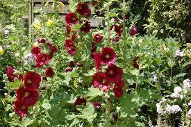 Stockrose - (Garten, Pflanzen, Natur)