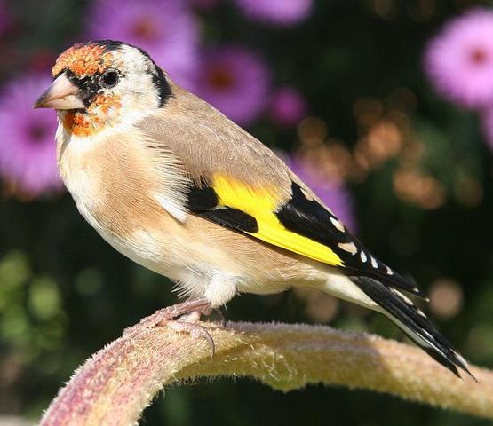 Stieglitz - (Natur, Vögel)