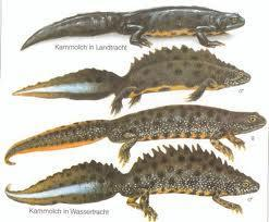 kammmolch - (Tiere, Reptilien, Eidechsen)