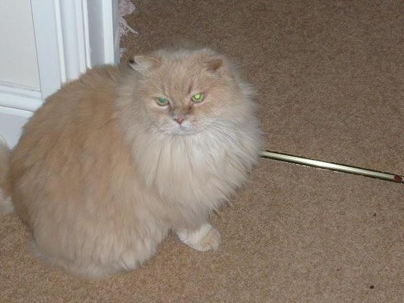 kater sissy - (Katze, Futter, Maine Coon)