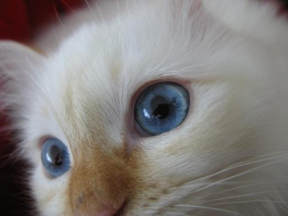 Blaue Augen - (Augen, Katzen)