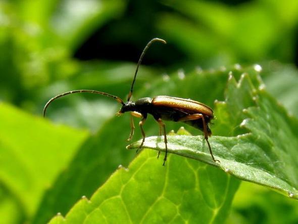 Schnürhalsbock - (Insekten, Art)