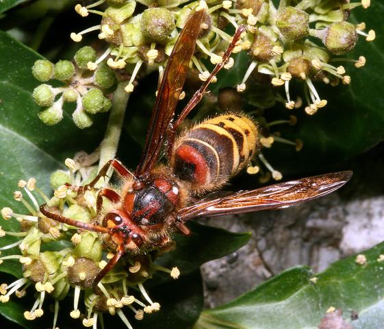 Hornisse - (Insekten, Bienen, Wespen)