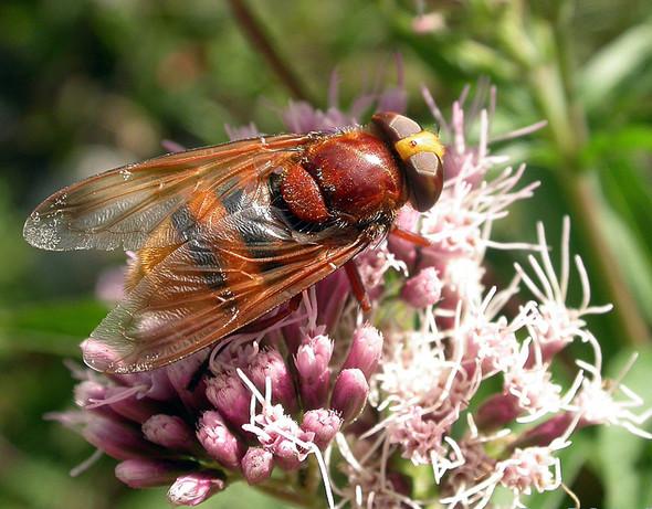 Hornissen-Schwebfliege - gleich groß wie Hornissen - (Insekten, Bienen, Wespen)