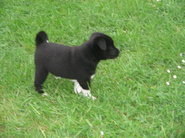 welpe im grass - (Tiere, Hund)