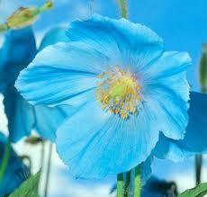 Meconopsis grandis - (Pflanzen, blauer mohn)