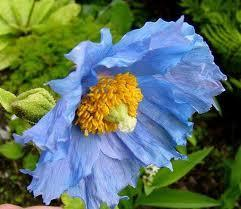 Meconopsis horridula - (Pflanzen, blauer mohn)