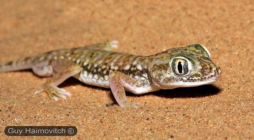 stenodactylus petrii - (Terrarium, Reptilien, Gecko)