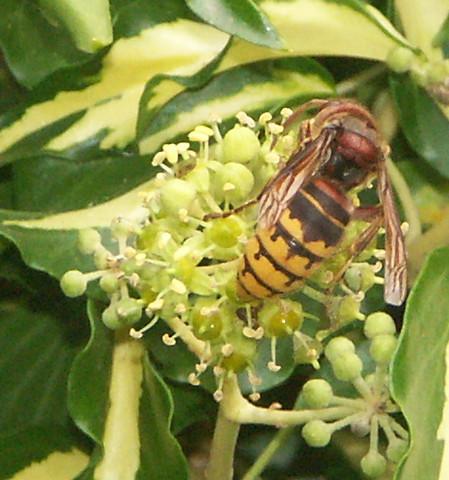 Hornisse - (Tiere, Insekten, Bienen)