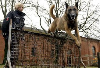 Das ist ein Malinoi - (Tiere, Hund, Polizei)