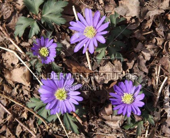 Anemone - (Garten, Blumen, Botanik)