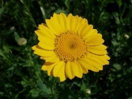 Saatwucherblume - (Garten, Pflanzen)