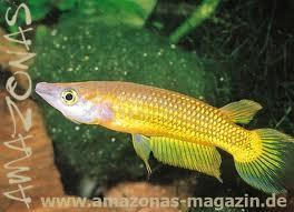 goldener streifenhechtling - (Fische, Aquarium)
