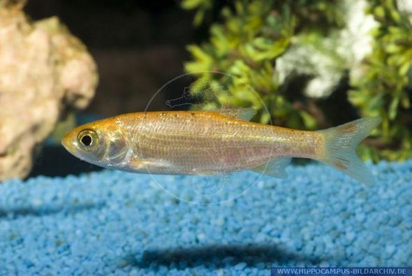 so sieht dieser fisch aus - (Fische, Aquarium)