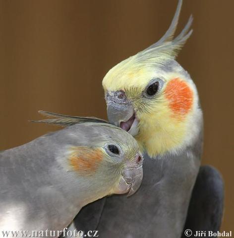 Nymphensittich - (Tiere, Vögel, Tierarzt)