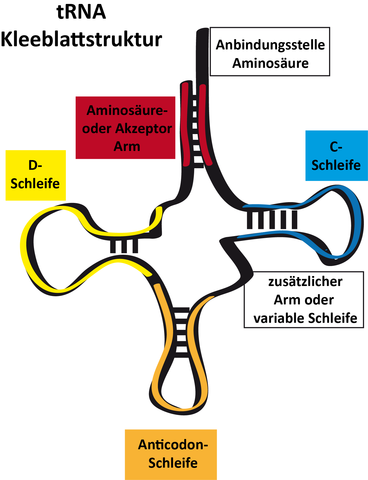 t-rna-kleeblattstruktur - (Schule, Biologie, Hausaufgaben)