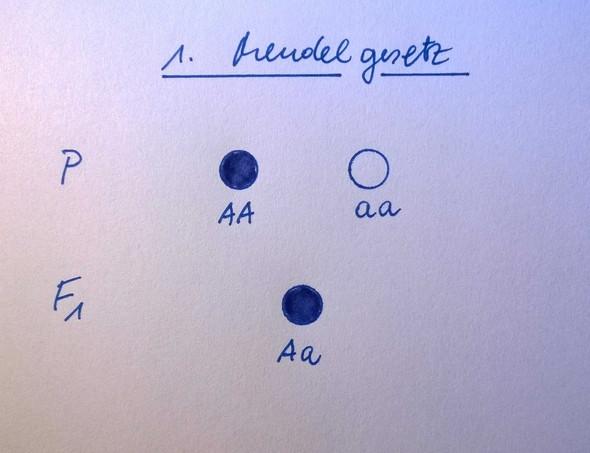 1. Mendelgesetz - (Schule, Biologie, Gene)