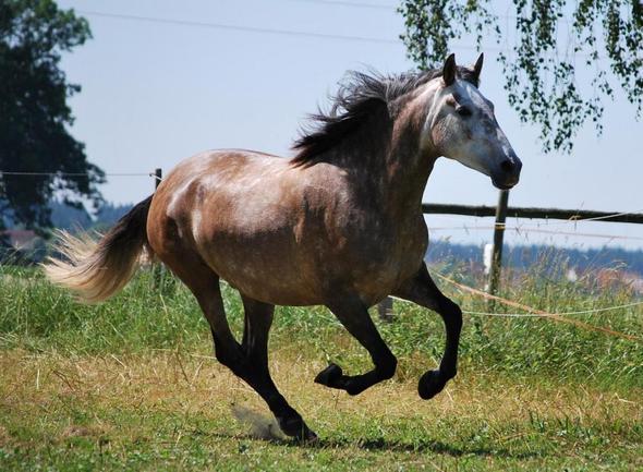 Mittelding - (Pferde, Reitsport, Fellfarbe)