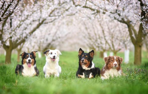 Kannst die noch mal mit deinem verleichen 😊😄sind shepherds - (Hund, Rasse, Tierheim)