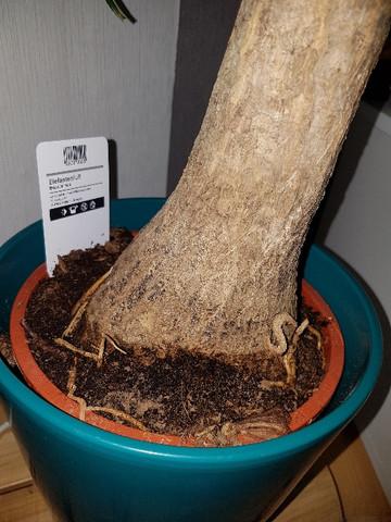Elefantenfuß Giftig Für Katze flaschenbaum oder elefantenfuß katzen giftige pflanzen