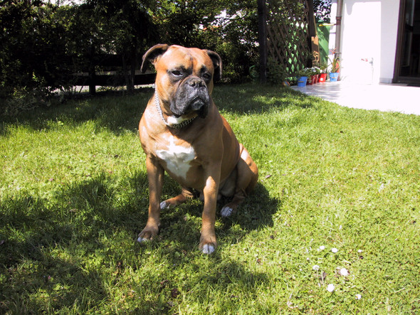 - (Boxer, Spürhund)