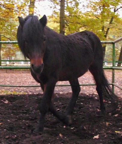 traversale - pd eurocheval - dartmoorpony - copyright ponyfliege - (Tiere, Pferde, Reiten)