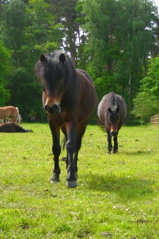 vorwärtsabwärts - pd traumprinz, pd bethlehem - dartmoorpony - rights ponyfliege - (Tiere, Pferde, Reiten)