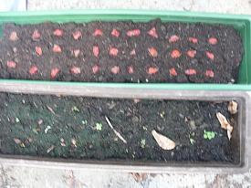 - (Pflanzen, Früchte, Samen)