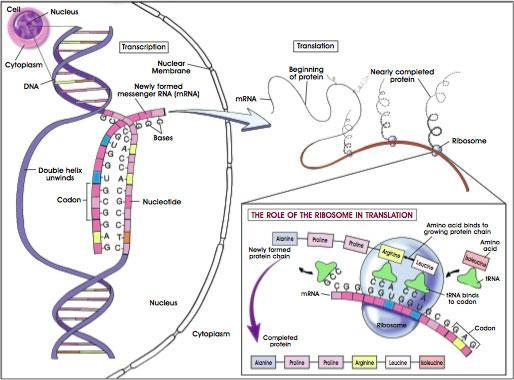 Was ist Translation und was ist Transkription (Biologie/ Genetik)?