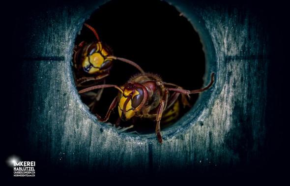 Hornissen Wächterinnen - (Angst, schlafen, Hornissen)