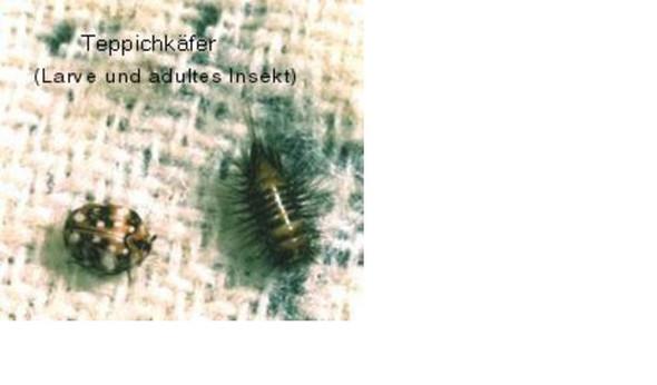 Teppichkäfer - (Tiere, Kleidung, Klamotten)