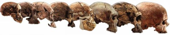 Entwicklungsreihe menschlicher Schädel - (Menschen, Biologie, Prüfung)