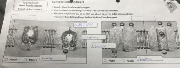 Transportmechanismen - Symport und Antiport (Hilfe bei Arbeitsblatt ...