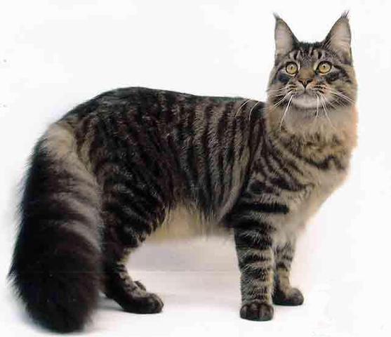 Maine Coon - (Tiere, Katzen)