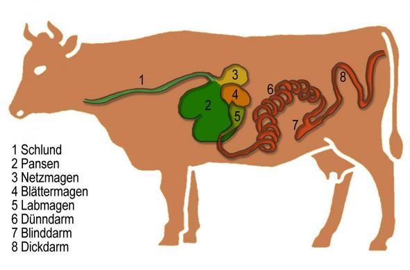 Die Mägen Der Kuh