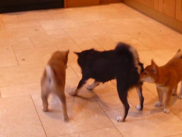 shiba mit welpen - (Hund, Tierheim, Zweithund)