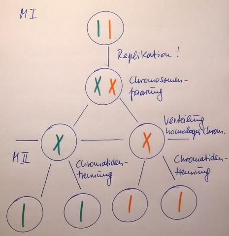 wieviel chromosomen hat der mensch
