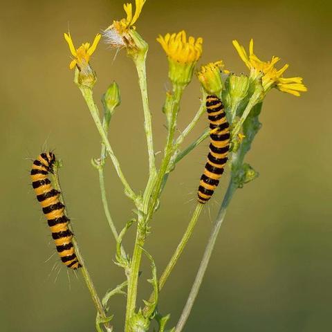 Die Raupen vom Jakobskrautbär - (Insekten, Schmetterling, raupe)
