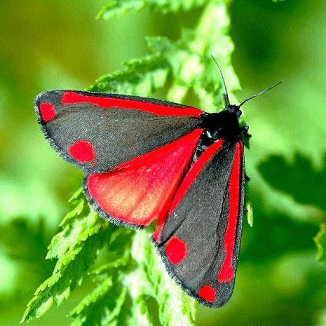Der Jakobskrautbär - ein Nachtfalter - (Insekten, Schmetterling, raupe)